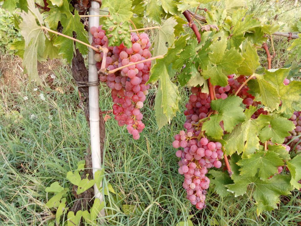grappoli uva candia